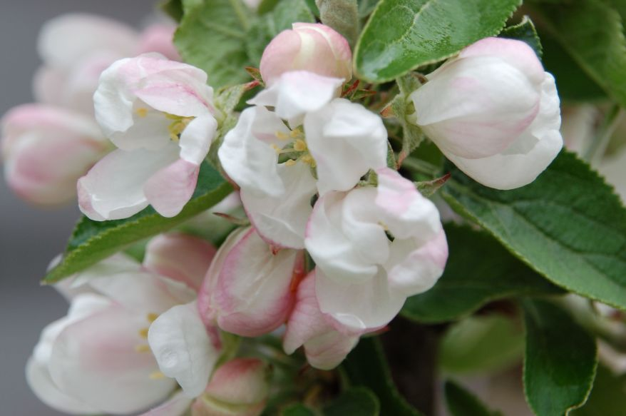 Appleflowers 42512