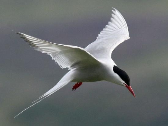 http://www.birdforum.net/opus/Arctic_Tern