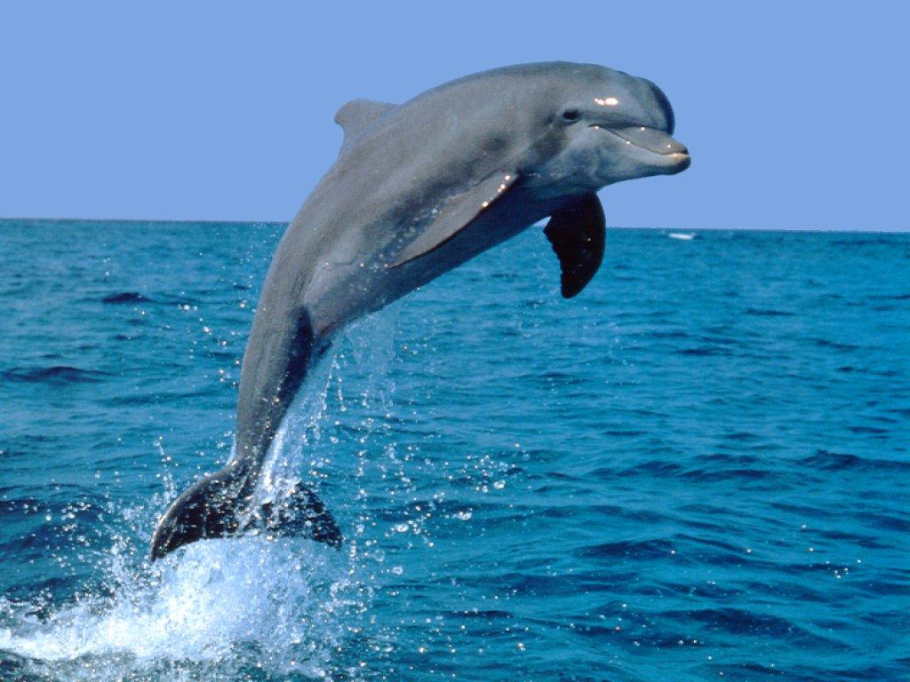 http://www.animalspot.net/wp-content/uploads/2012/08/Jumping-Bottlenose-Dolphin.jpg